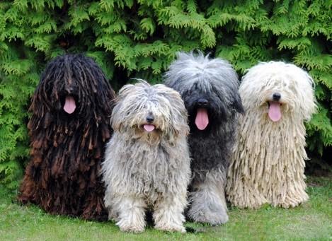 Puli Mop dogs