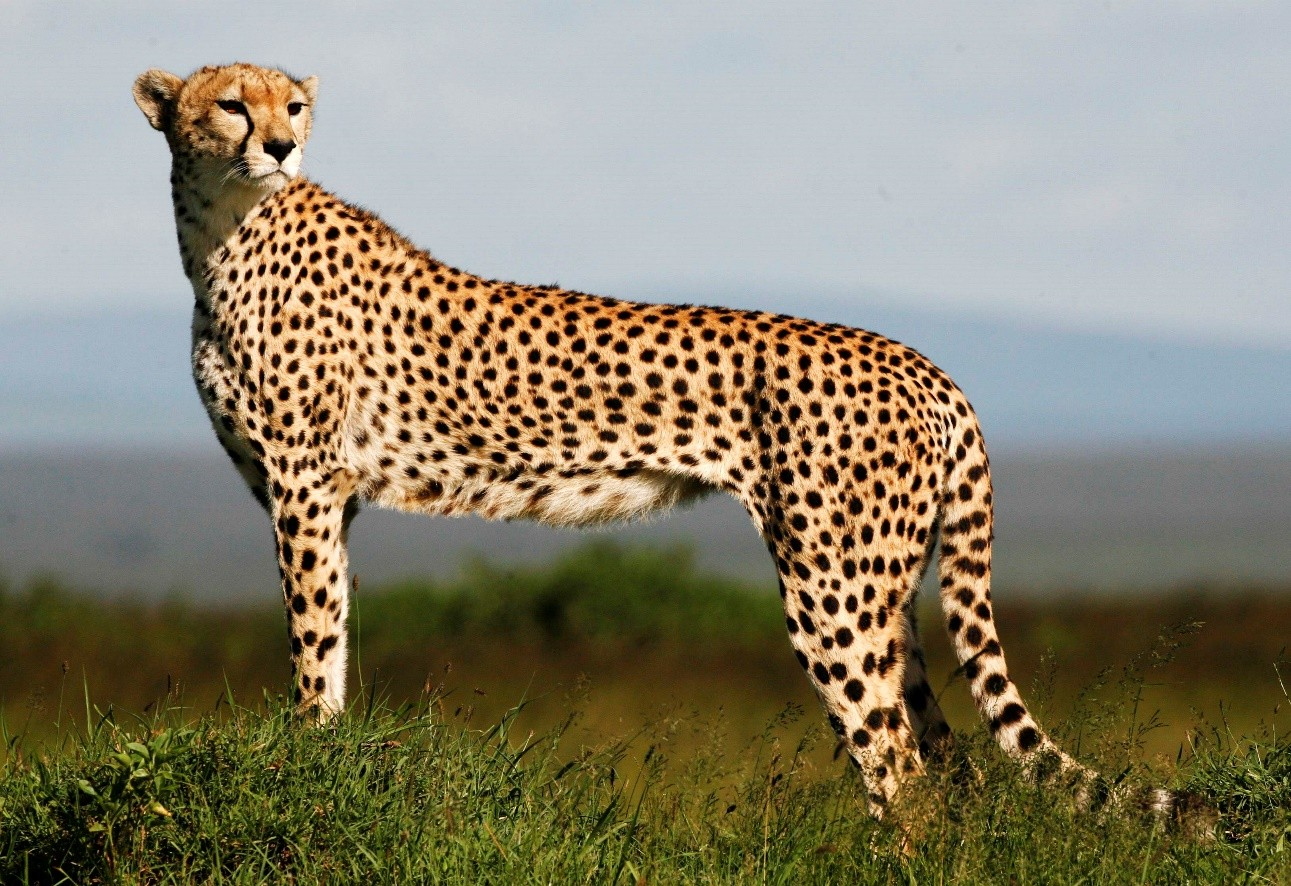 The origin of the name cheetah